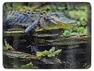 Alligator Glass Cutting Board